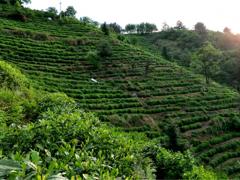 松溪白茶加工技术等5项团标通过审定 引导标准化生产